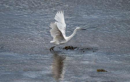 Little Egret flying from an estuary 版權商用圖片