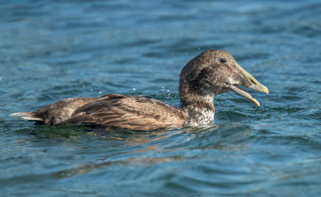 Eider duck, in the sea eating a crab, close up Stock Photo