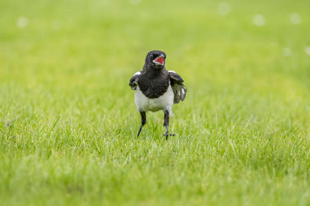 pica: Magpie standing on the grass, close up, squawking