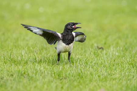 Magpie standing on the grass, close up, squawking