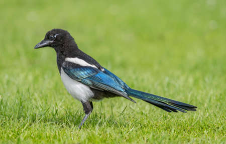 pica: Magpie juvenile standing on the grass, close up