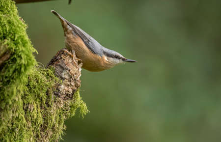 Nuthatch perched on the side of a tree