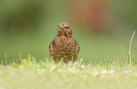 Blackbird, female, close up on the grass