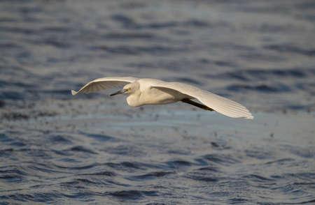 Little Egret flying from a loch in Scotland