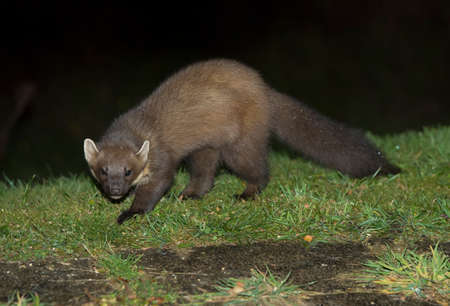 Pine marten on the grass, close up Stock Photo