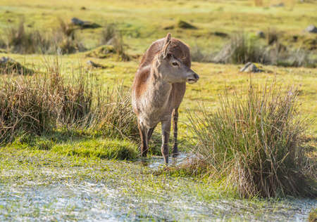 cervus: Red deer in a pool of water in the Scottish Highlands Stock Photo