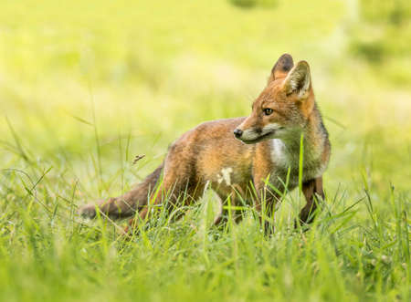 A Red Fox juvenile on the grass, close up