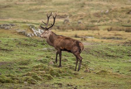 スコットランドのハイランド地方で丘の中腹に赤い鹿鹿