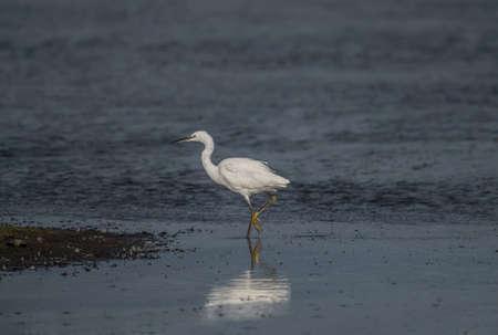 Little Egret on a loch in Scotland 版權商用圖片