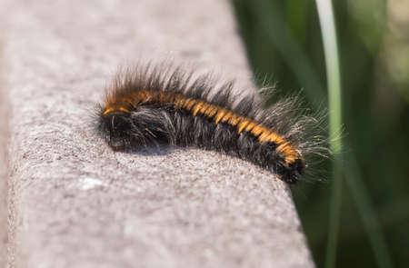 Fox moth caterpillar on a boardwalk, close up