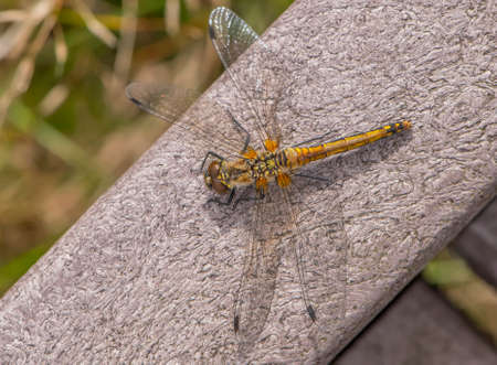 Common Darter resting on a wall in the sun