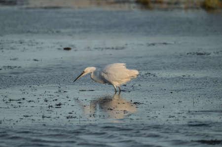 Little Egret catching fish on a loch in Scotland