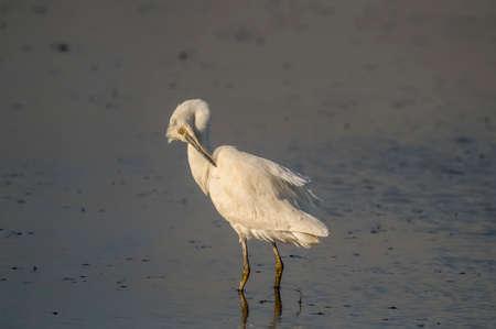 Little Egret preening itself on a loch in Scotland