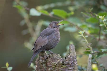 Blackbird, male, on top of a tree stump, tweeting
