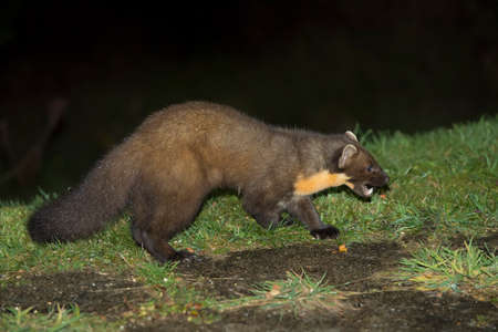 Pine marten on the grass, close up Stock Photo - 88786538