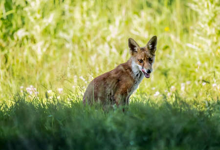 A Red Fox juvenile, on the grass licking his lips
