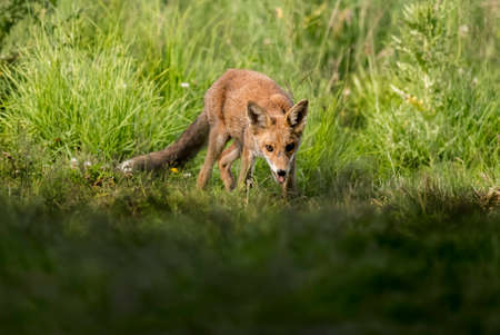 A Red Fox juvenile, prowling and hunting on the grass Stock Photo - 88991101