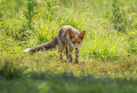 A Red Fox juvenile, prowling and hunting on the grass