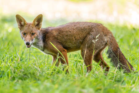 A Red Fox juvenile, prowling and hunting on the grass Stock Photo - 88991105