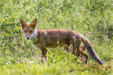 A Red Fox juvenile, prowling and hunting on the grass Stock Photo - 88991146