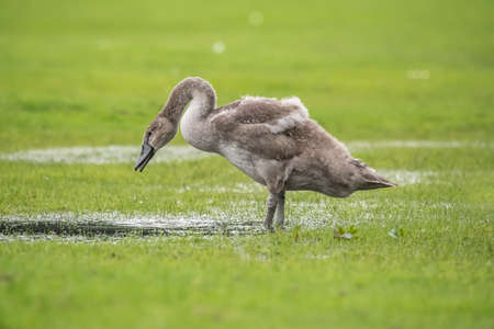 Mute Swan juvenile drinking from a puddle of water in a field