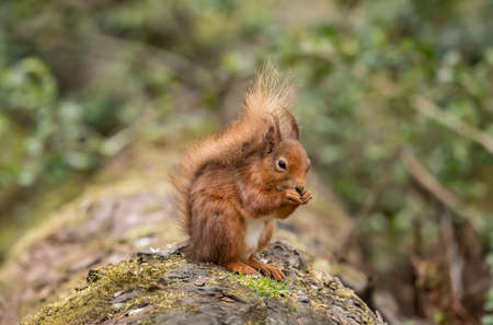 Red Squirrel on a log in a forest eating nuts