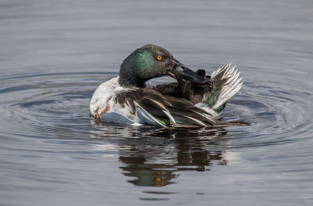 shoveler preening itself on a loch in Scotland close up in the Springtime