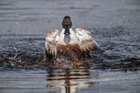 shoveler displaying on a loch in Scotland close up in the Springtime
