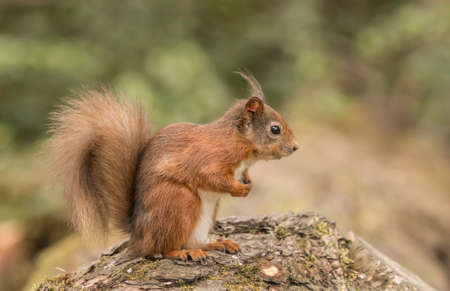 Red Squirrel on a log in a forest close up Banque d'images