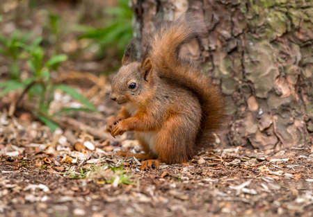 Red Squirrel on wood chipping on the forest floor in woodland