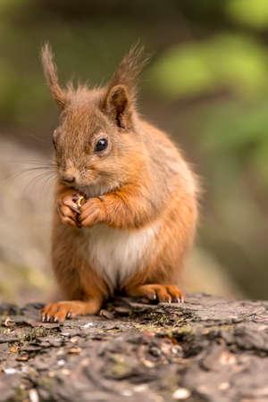 食品を探しまわって、ナッツを食べて森林でのログの赤リス
