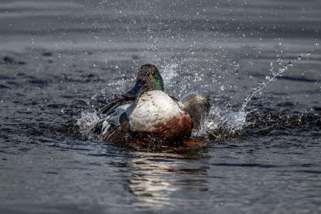 Shoveler displaying on a loch in Scotland in the Springtime