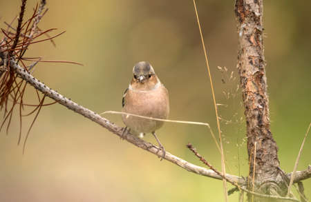 Chaffinch, male, perched on a branch of a tree in Autumn
