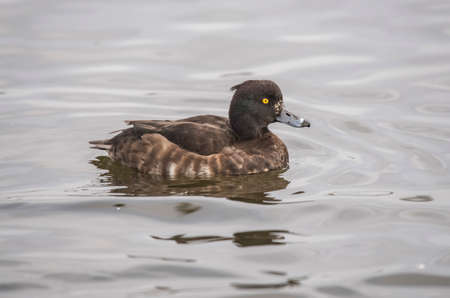 Tufted duck on a loch in Scotland, close up