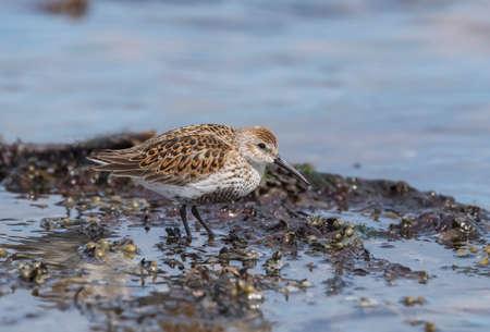 Dunlin on the shoreline at high tide