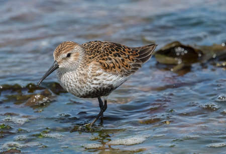 Dunlin in the water at high tide
