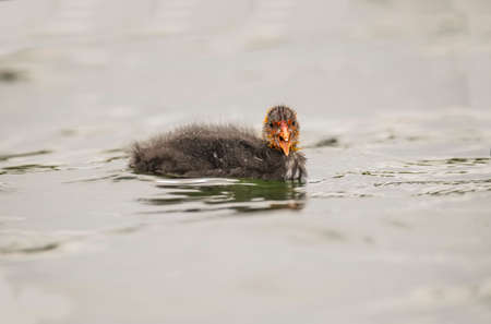 Coot juvenile chirping on a loch in Scotland Stock Photo