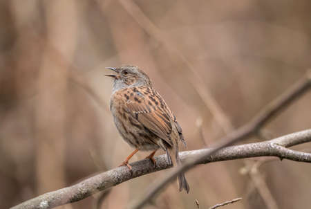 Dunnock perched on the branch of a tree in a forest Stock Photo