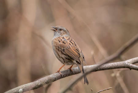 Dunnock perched on the branch of a tree in a forest, tweeting Stock Photo
