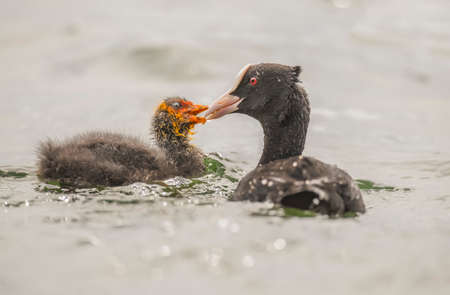 Coot juvenile being fed by an adult on a loch in Scotland