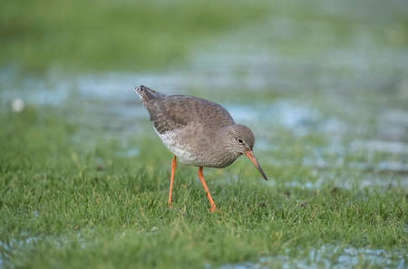 Redshank foraging for food in the winter in a frozen flooded field