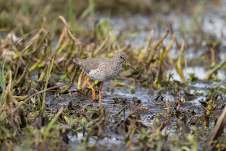 Redshank foraging for food in the springtime on marshland
