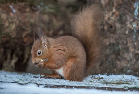 Red Squirrel on a snow covered log in a forest looking for food and eating nuts