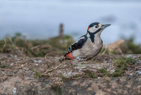 Great spotted woodpecker, standing on the forest floor Stock Photo