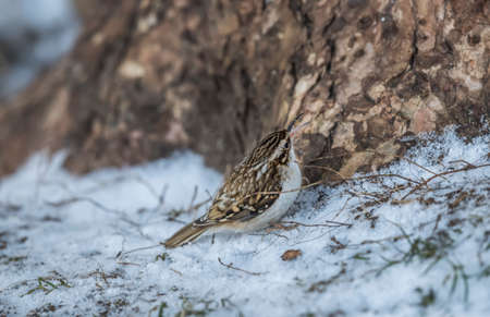 Treecreeper perched on the snow in front of a tree, tweeting