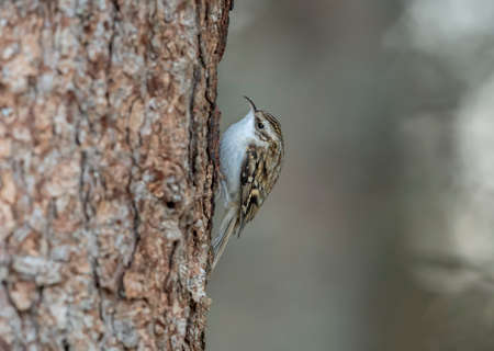 Treecreeper perched on a tree trunk looking for food