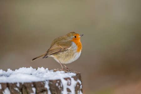 Robin, perched on a snow covered tree stump in woodland