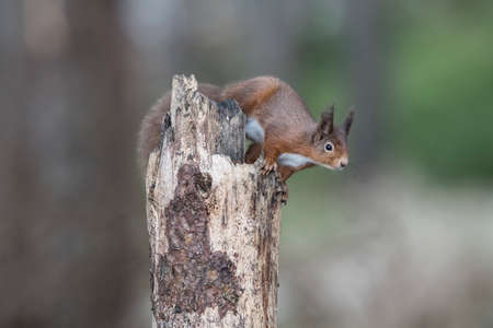Red squirrel about to jump from a rotten tree trunk 版權商用圖片