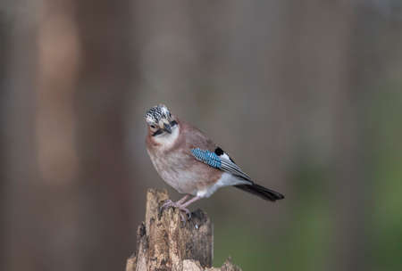Jay, perched on a rotten tree stump in a forest Stock Photo