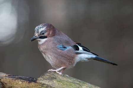 Jay, perched on a tree stump in a forest